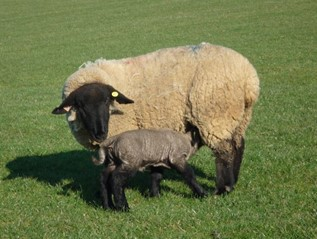 Signet Recorded Suffolk Sheep